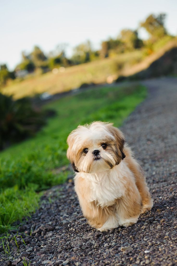 shih tzu don t best 25 shih tzu ideas on pinterest shih tzu puppy 226