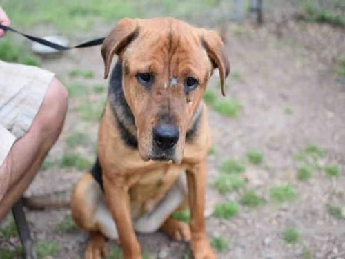 "<div class=""rgDescription"">IN FOSTER CARE. I NEED A RESCUE GROUP TO STEP UP FOR ME<BR><BR>YOLANDA<BR>482972<BR>5 YEARS OLD<BR>HEARTWORM POSITIVE<BR>58 LBS<BR><BR>I don''t know why my people moved away and left me. I was alone in the backyard with my fur brother for days without food or water. We were really scared and finally a nice man came and picked us up. I get lots of food and water now. The people are really ni..."