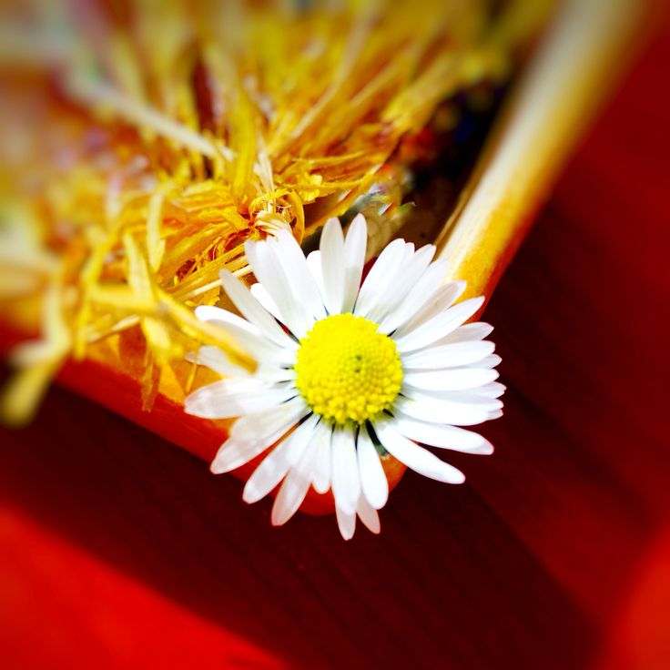 """""""Il fascino di un fiore sta nelle sue contraddizioni, così delicato nella forma così forte nel profumo, così piccolo nelle dimensioni così grande nella bellezza, così breve nella vita così lungo il suo effetto.""""  (Terri Guillemets)"""