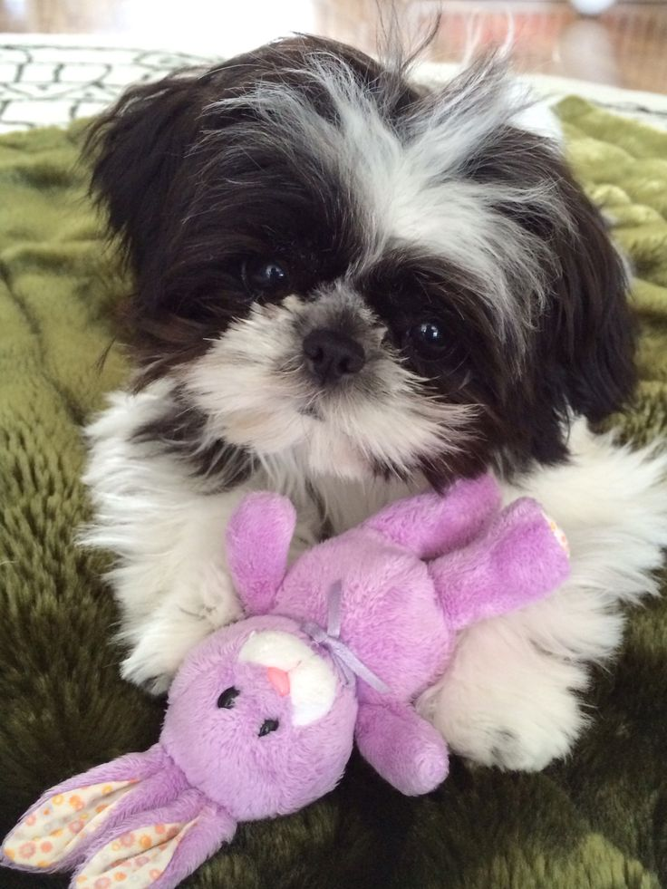 Toy shih tzu Lola Happy Easter!