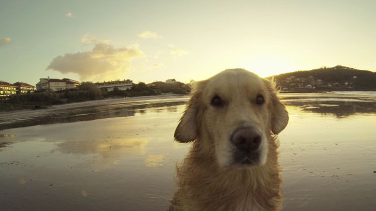 8 Things You Didn't Know About Golden Retrievers: We all know they couldn't get any cuter, but did you know they're the 3rd most popular breed in America?