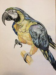 Oscar the Blue and Gold macaw (Best Western Glenspean Lodge Hotel) watercolour pencils
