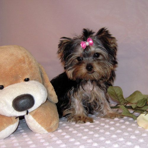 Free Yorkie Puppies for Adoption Free Teacup Yorkie