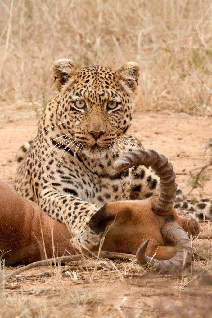 Leopard vs. Impala.  Madikwe Nature Reserve. South Africa | © Bill Davies
