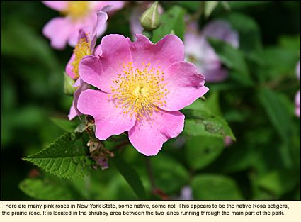 There are many pink roses in New York State, some native, some not. This appears to be the native Rosa setigera, the prairie rose. It is located in Hamlin Beach State Park in the Finger Lakes in the shrubby area between the two lanes running through the main part of the part.