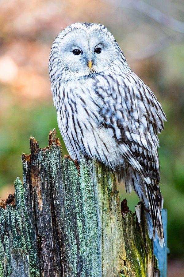 Ural Owl by Jürgen Paul on 500px via Edie Barger