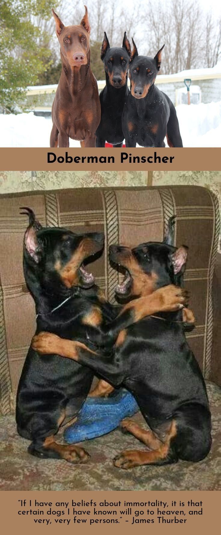 Doberman Pinscher Loyal And Fearless Doberman Doberman Pinscher Dogs