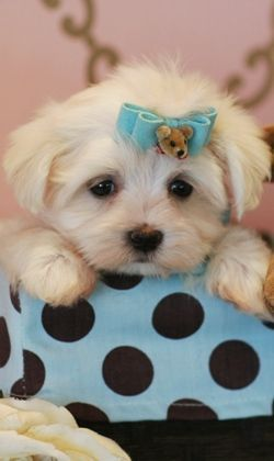 Teacup Maltese Puppies For Sale Florida Love Dogs Pinterest