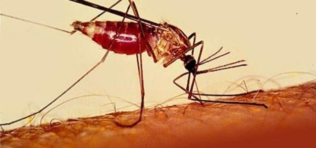 Best Malaria Fever natural Herbal Remedies  Malaria Fever can be caused by Plasmodium parasite (mosquito) and also named as borne blood disease. The disease is transmitted to humans by Anopheles mosquito through the bite. This can be cure with the simple remedies stated below.    Get a Yellow Pawpaw leaves Squeeze the leaves in a water. You can preserve it in a bowl or jug in a cold place and take a glassful three times every day. for seven days. This system can also cure Jaundice. Just…