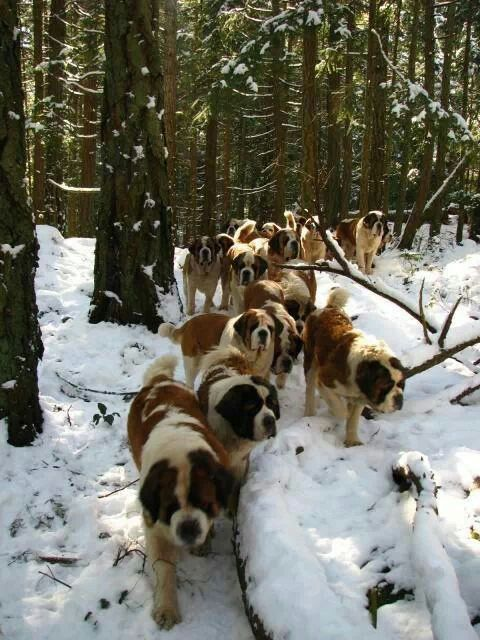 This is a snowy stampede of awesome! #stbernard #dogs #doglovers