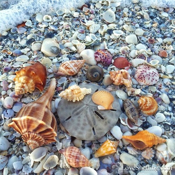 Bowmans Beach shells on Sanibel Island, Florida! There really are this many shells there! But return the live ones to the sea please!