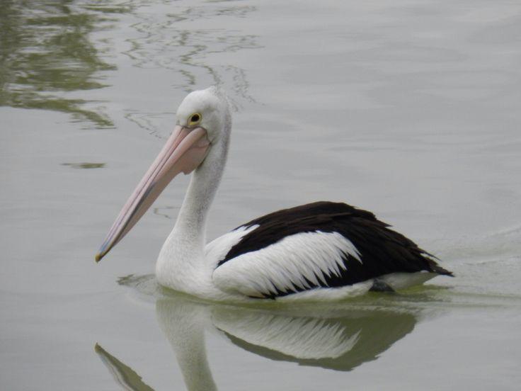 Pelican at Mildura, VIC