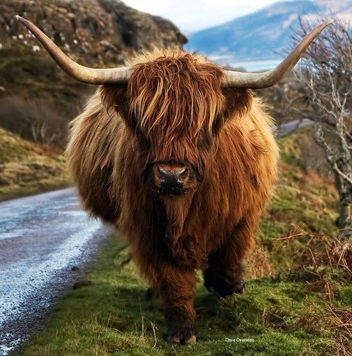 Highland cow, cutest cow ever!