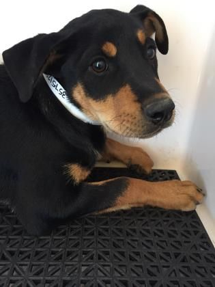 Animal ID\t35751285 \r\nSpecies\tDog \r\nBreed\tRottweiler\/Mix \r\nAge\t5 months 4 days \r\nGender\tFemale \r\nSize\tMedium \r\nColor\tBlack\/Brown \r\nSite\tDepartment of Animal Services, City of El Paso \r\nLocation\tSally Port \r\nIntake Date\t6\/25\/2017