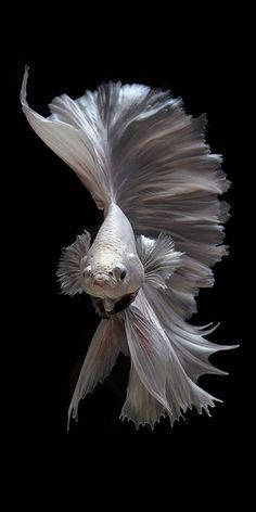 Visarute Angkatavanich is a Thai photographer who lives and works in Bangkok. He is a lover of the Beta fish or fighters of Siam, a kind of freshwater just over six centimeters and lives across the Mekong River basin.