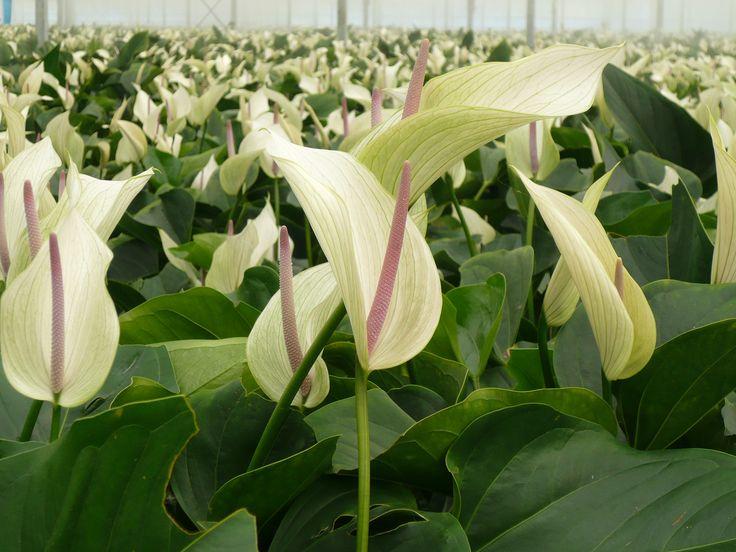 Deze Anthurium Lumina groeit bij Kwekerij Fleuranthu in Maasbree.