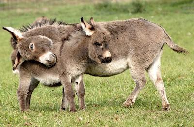 Dolls Face, Except, Mothers, Minis Dog Qu, Minis Donkeys, Farms, Creatures, Miniatures Donkeys, Animal Photos
