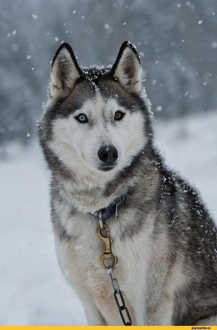 хаски,husky, сибирская хаски, сибирский хаски, ,собака,собакен, собакены, собаки, щенки, щенок, собака, ,гетерохромия,живность