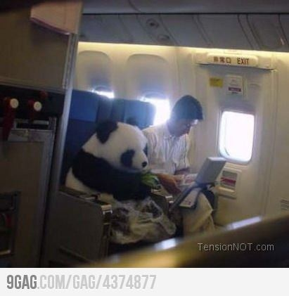 panda: Real Pandas, Diapers, Airplane, Funny, Seats Belts, The Zoos, Planes, Photo, Animal