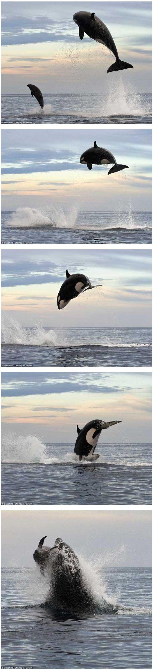 돌고래 사냥하는 범고래