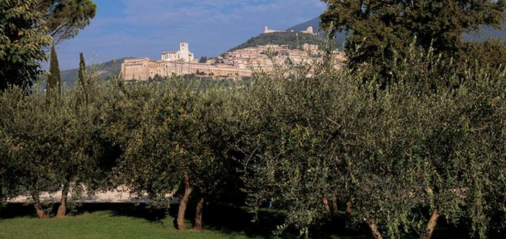 Olive trees in the garden