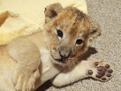 Hello from Southwick's Zoo's Lion Cub
