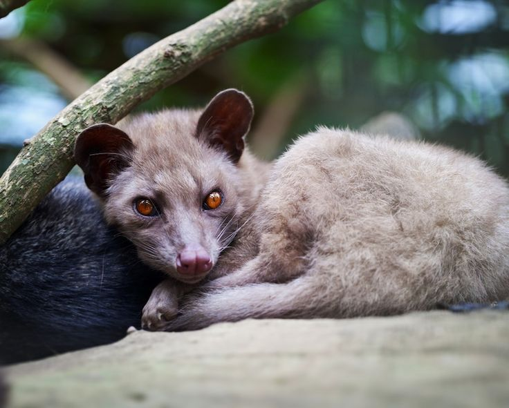 Coffee berries pooped out by the Asian palm civet are used to make the world's most expensive coffee, called Kopi Luwak.
