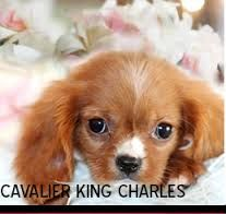 teacup dogs breeds - Google Search