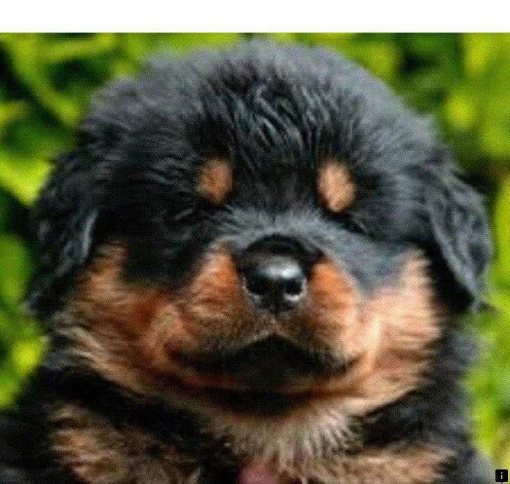 Outstanding Rottweilers Information Is Offered On Our Internet Site Take A Look And You Will Not Be Sorry You Did In 2020 Rottweiler Puppies