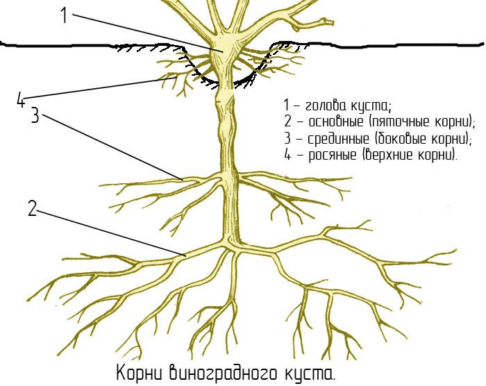 на фото - схема корней винограда