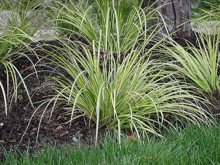 Oborozuki sweet flag acorus gramineus 39 oborozuki 39 at for Green ornamental grass