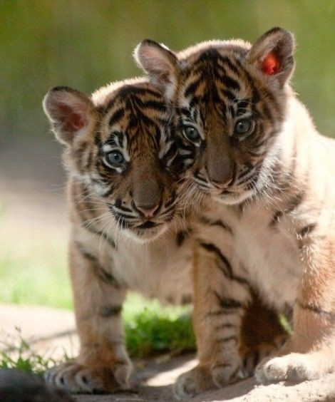 Baby Tiger Cubs. | Beautiful animals | Pinterest