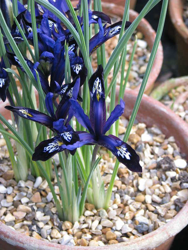 Iris reticulata Blue Note | by peganum