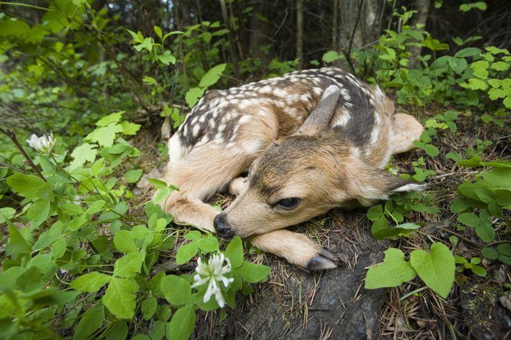 Awwwwwe: Baby Deer, Animal Kingdom, Bambi, Siuslaw National, Newborns Fawns, Naps Time, Mule Deer, Adorable Animal, National Forests