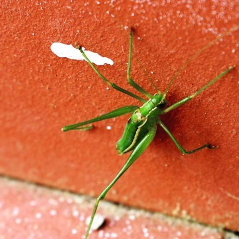 I was quite worried that our dog will find this large green grasshopper an interesting new toy or a tasty protein snack. Luckily, he avoided it as much as we did...