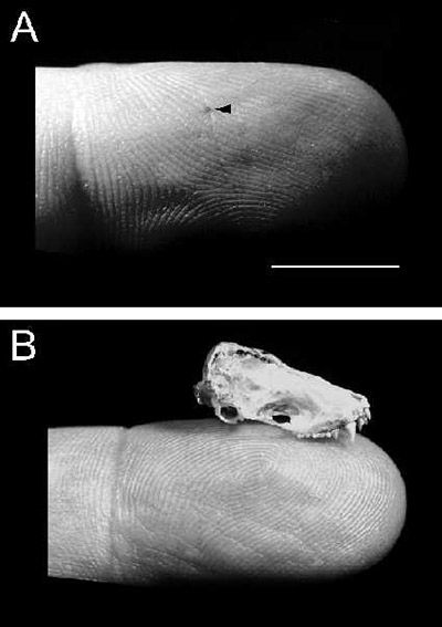 Puncture wound of a bite from a silver-haired bat (A, arrow) and skull of silver-haired bat (B). Reprinted with permission from Elsevier (<em>The Lancet</em>, 2001, Vol 357, pp 1714)