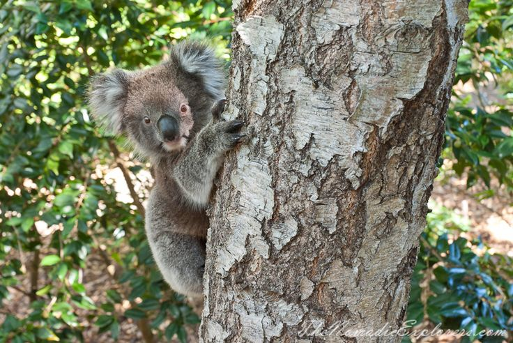 Koala in Autumn at Mount Lofty Botanic Garden, Adelaide, South Australia