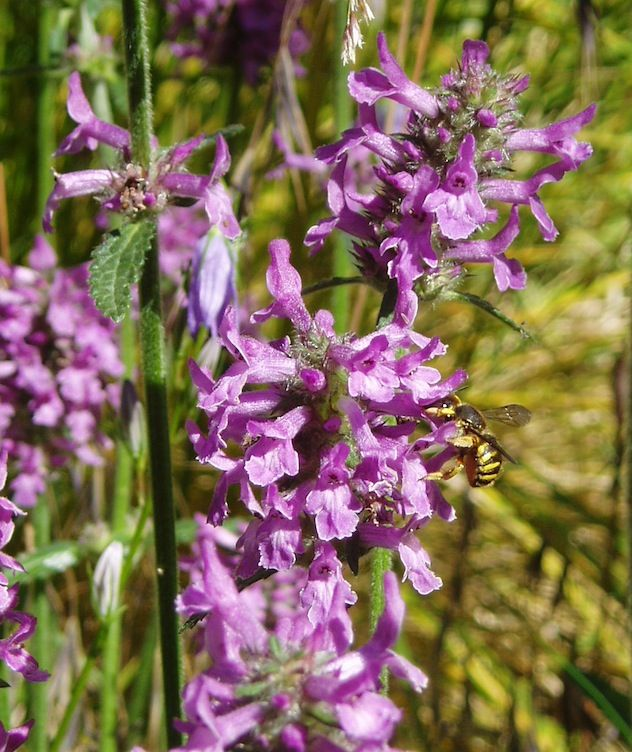 Good Anthidium manicatum European wool carder bee Grote wolbij on Stachys officinalis Betony BienenGartenWool Carder Bee