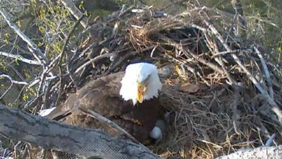 Live Bald Eagle Cams of the quad cities area ~ http://www.alcoa.com/locations/usa_davenport/en/info_page/eaglecam.asp,