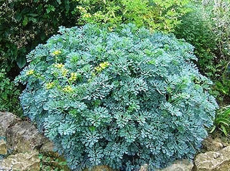 Rue Seeds Rue (Ruta graveolens) is an herb with feathery green-blue leaves, and…