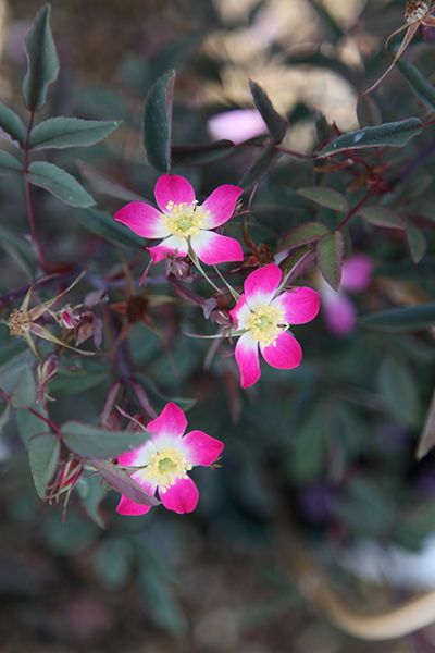Buy rose rubrifolia (shrub) Rosa glauca: Delivery by Crocus