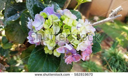 Hydrangea flowers with a shade of green, pink and purple