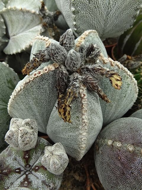 #cacti #cactus #grower #Ubink; Available at www.barendsen.nl