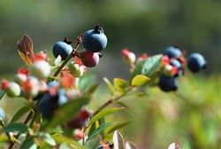 Growing Huckleberries  Huckleberry plant grows well in moist, acidic soil and requires long daylight conditions for maximum bearing of fruits. Here is some information on how to grow huckleberries.  Read more at Buzzle: http://www.buzzle.com/articles/growing-huckleberries.html