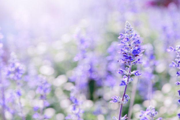 Lavender Flower In Garden In 2020 Lavender Flowers Purple Flowers Garden Purple Flowers