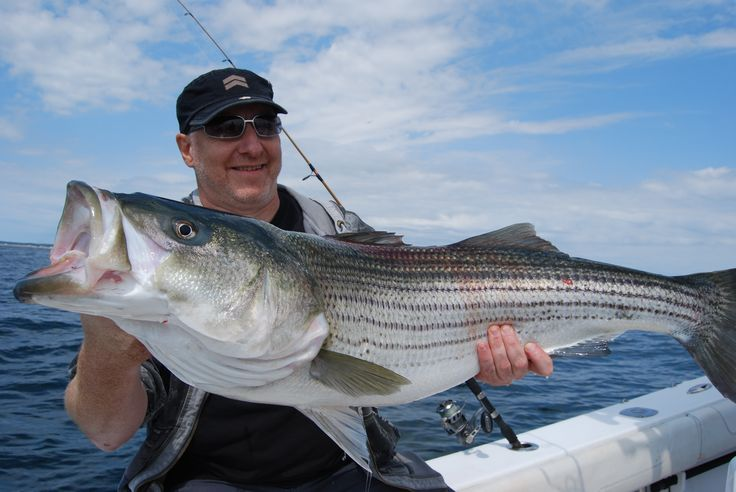 Bass striped striper fishing learn how to catch any kind for Striper fishing chesapeake bay