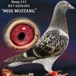 """113 - B17-6256165 """"MISS MUSTANG"""" ♀   De Duif"""