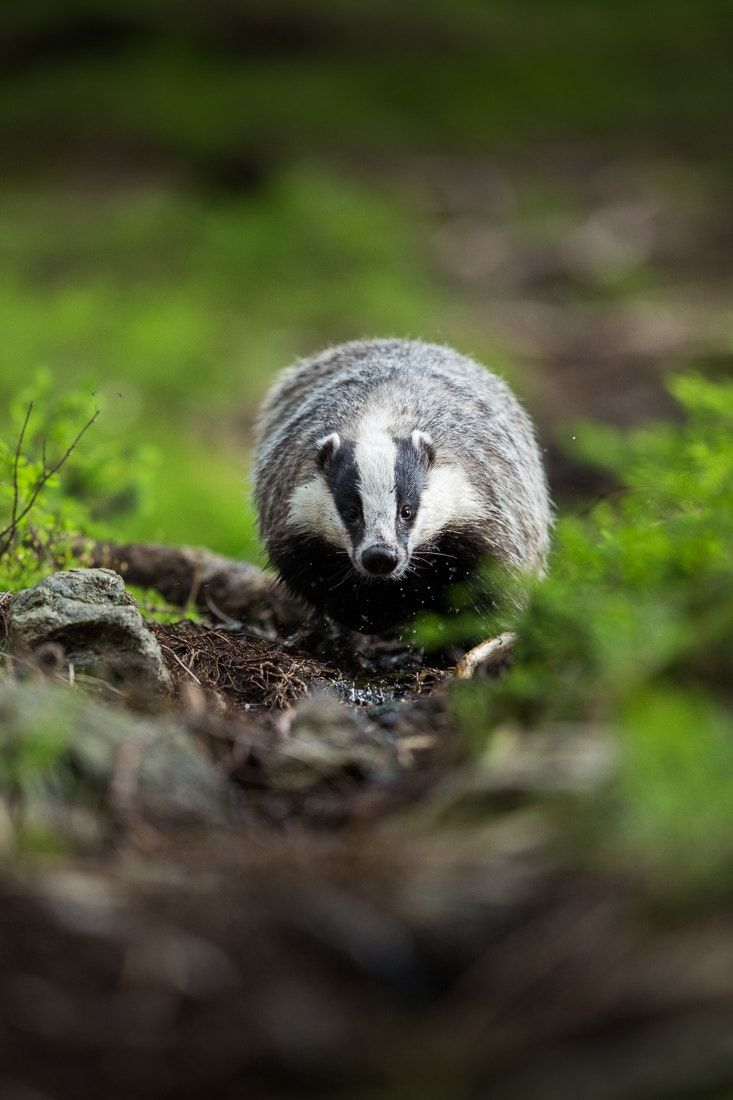 European Badger (everything {that is, everything that actually is actively living} has the right to its own life)