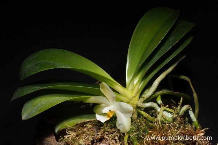 White Orchid BiOrbAir Terrarium Trial (part three) - Pumpkin Beth