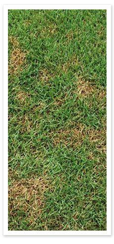 Turf Disease - Dollar Spot - http://www.buffaloturf.com.au.